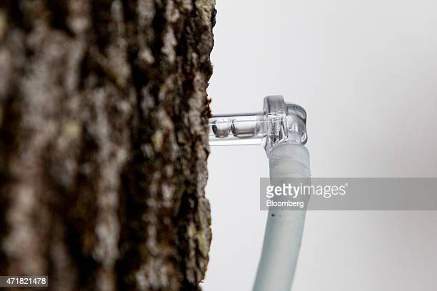 A vacuum tube sucks sap from a tap in a maple tree at April's Maple in Canaan Vermont US on on Thursday April 23 2015 April Lemay the owner of...