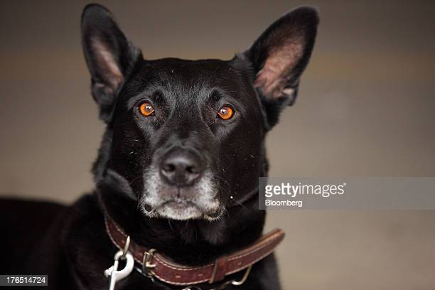 Vader a Belgian Malinois one of Colorado Springs Police Officer Andrew Genta's K9s sits after demonstrating a narcotic search on a vehicle in...