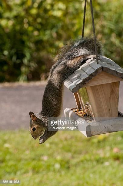 Vadnais Heights Minnesota Squirrel hanging from a bird feeder eating bird seed Eastern Gray Squirrel Sciurus carolinensis