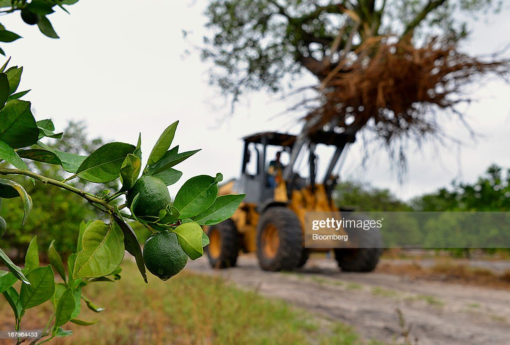 Valencia oranges grow on a tree as a John Deere 444J front loader carries a tree infected with bacteria from the Asian Citrus Psyllid insect at the Reynolds Farm in Lake Placid, Florida, U.S., on Thursday, May 2, 2013. The U.S. Department of Agriculture probably will lower its estimate for Florida's orange output as unusually dry weather compounds damage from citrus greening, a crop disease that cuts yields. Photographer: Mark Elias/Bloomberg via Getty Images