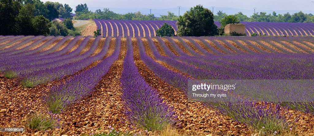 Valensole, lavender : Stock Photo