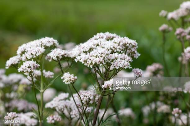 Valerian Root flowers (Valeriana officinalis)