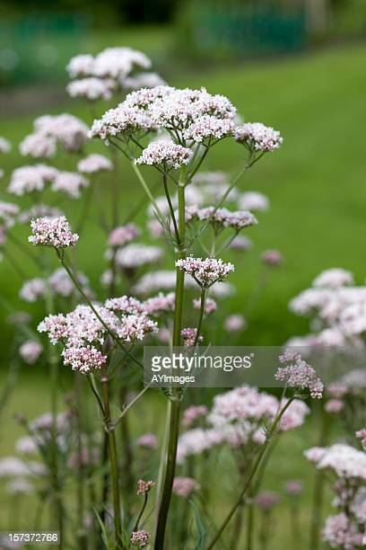 Valeriana Root (Valeriana officinalis