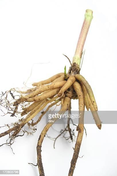 Valeriana raíz