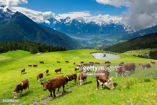 Valle daostacows in valpelline valley stock photo getty - Arredo bagno valle d aosta ...