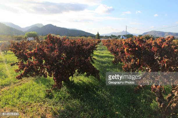 Valley land used for growing grapes near village of Lliber Marina Alta Alicante province Spain