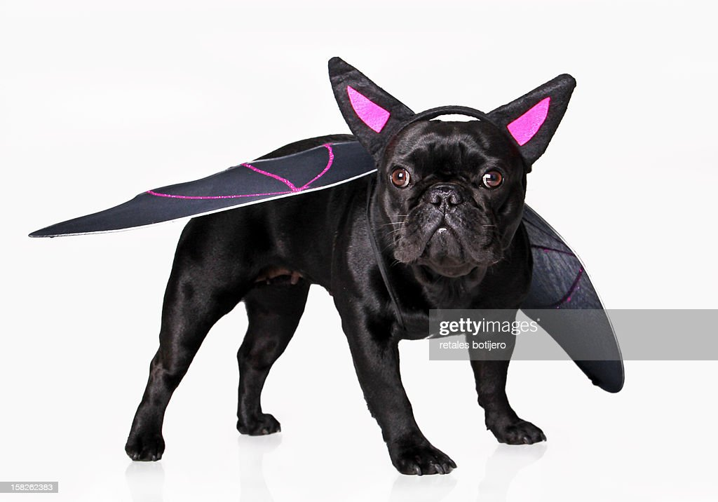 vampire dog : Stock Photo