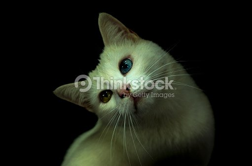 89f304c405 Van Cat   Stock Photo
