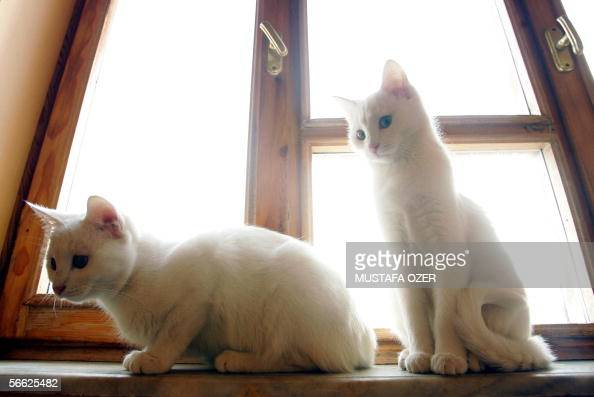 Van cats are seen in front of a window at the Cat House Center in the eastern city of Van Turkey 19 January 2006 The birdflu virus supposedly spreads...