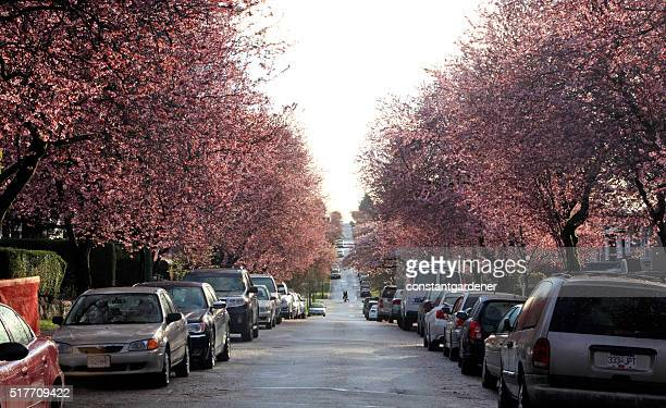 Vancouver Residential Tree Lined Street Of  Japanese Cherry Blossoms