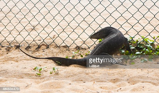 Varanus is running along wire fence : Stock Photo
