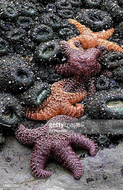 Variegated Ochre Sea Stars, Pisaster ochraceus, with closed Giant Green Anemones at low tide on rocky coast, Oregon, USA