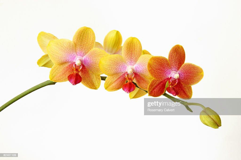 Variegated phalaenopsis orchid flowers