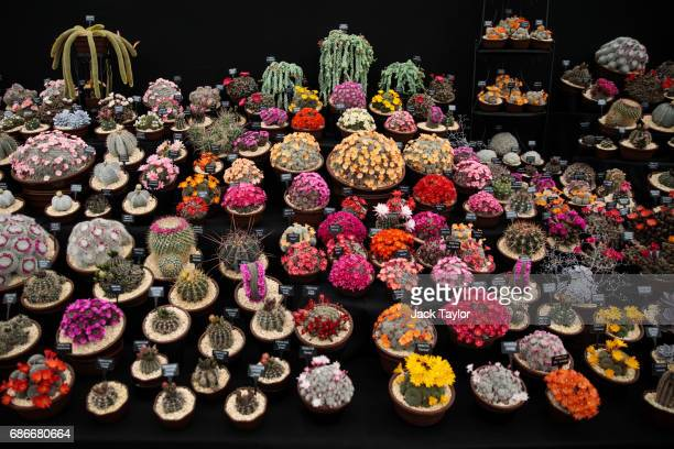 Varieties of cacti on display at the Chelsea Flower Show on May 22 2017 in London England The prestigious Chelsea Flower Show held annually since...