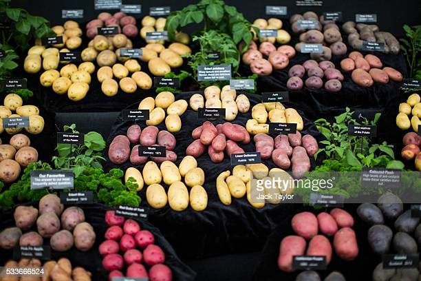 Varieties of potatoes on display at the Chelsea Flower Show on May 23 2016 in London England The prestigious flower show held annually since 1913 in...