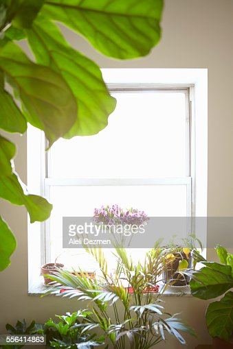Variety of house plants in front of window, indoors