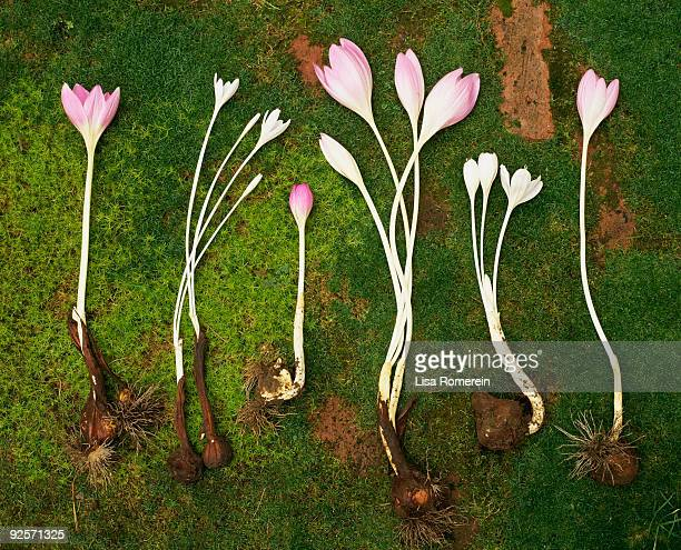Variety of pink colchicums