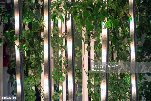 A variety of test crops grow at Modular Farms Co headquarters in Brampton Ontario Canada on Friday Aug 11 2017 The popularity of modular farms is...
