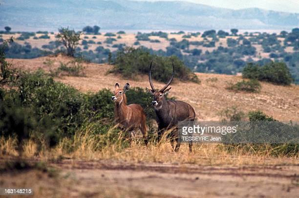 Various Animals In Africa En Afrique en mars 1968 lors d'un reportage dans la savane divers animaux dans la nature deux antilopes ou espèces...