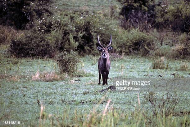 Various Animals In Africa En Afrique en mars 1968 lors d'un reportage dans la savane divers animaux dans la nature une antilope ou espèce d'antilope...