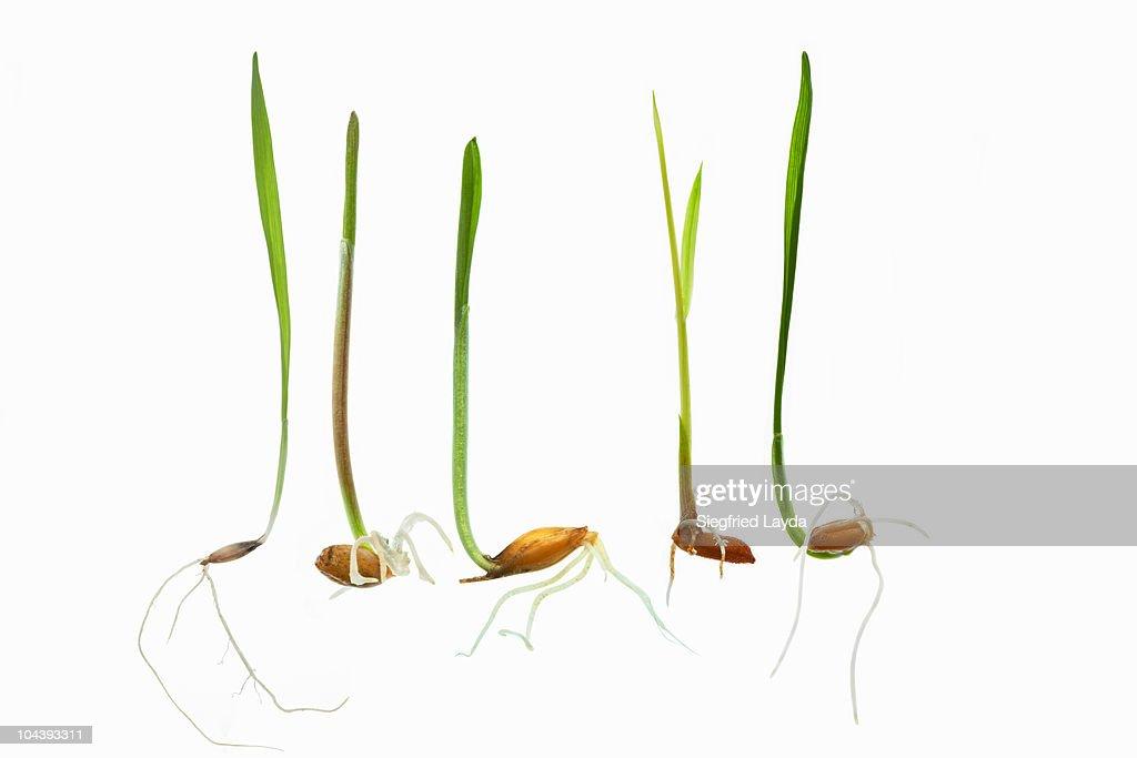 Various Grain Seedlings