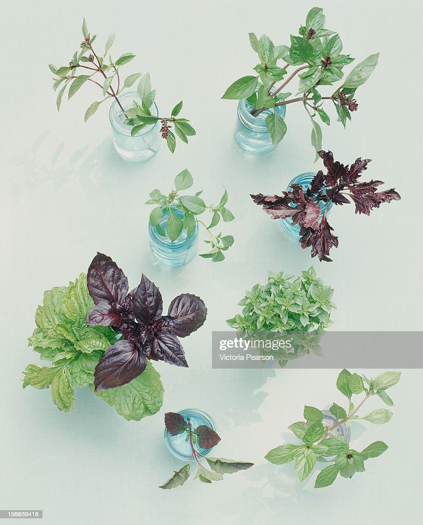 Various herbs in jars of water.