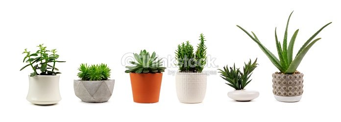 Various indoor cacti and succulents in pots isolated on white : Stock Photo