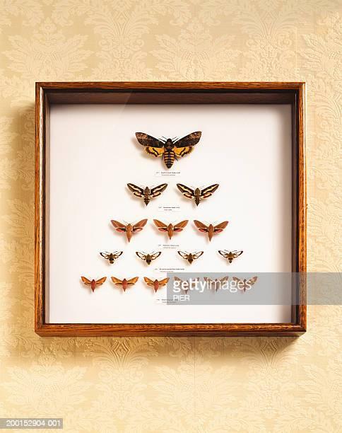 Various moths framed in glass