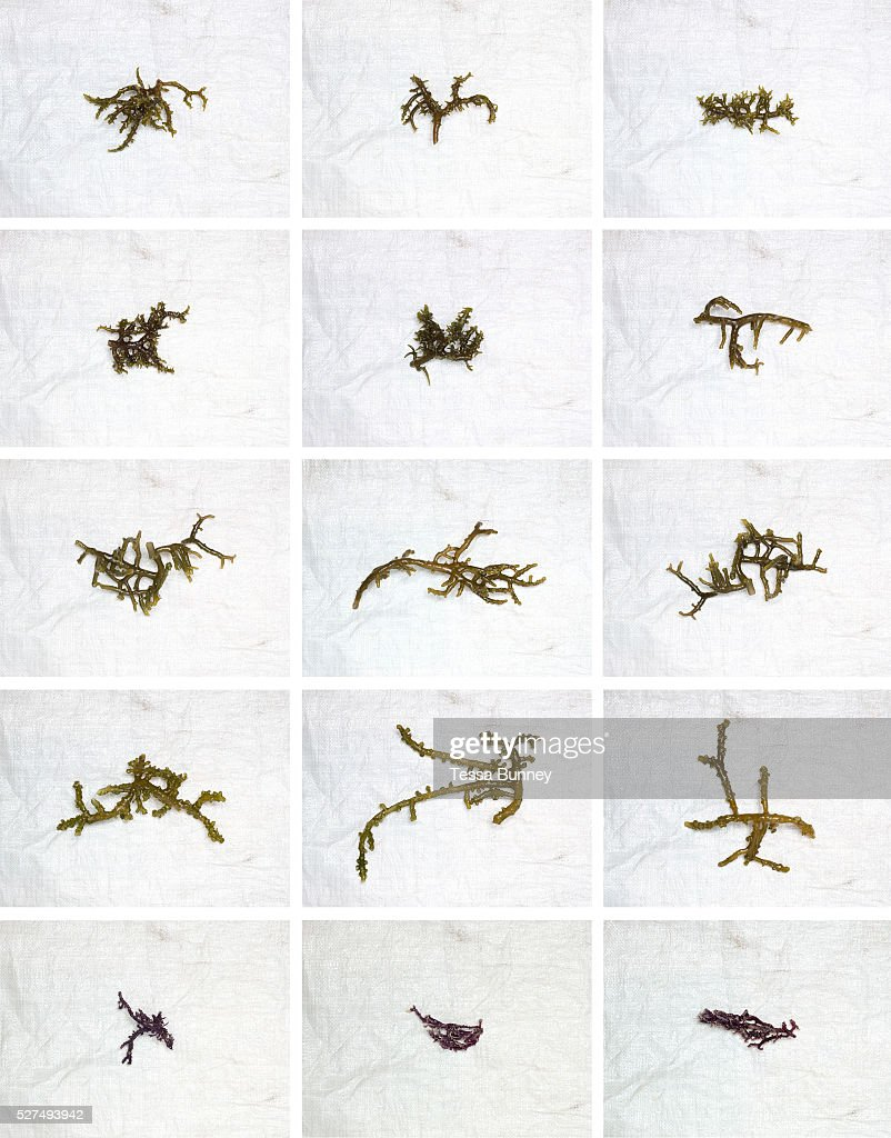Various stages of seaweed production seedlings freshly harvested and dried Tamiao Bantayan Island The Philippines Seaweed is fast growing and can be...