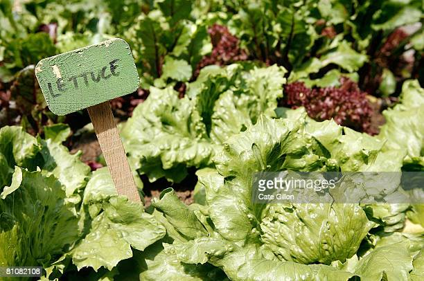 Various types of lettuce grow in vegetable allotments on display as part of Spring Renaissance in Covent Garden on May 13 2008 in London England...