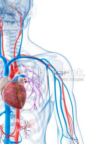 Sistema Vascular Foto de stock | Thinkstock