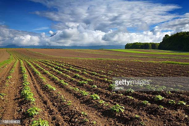 Vast acreage of land with rows and rows of potato plants