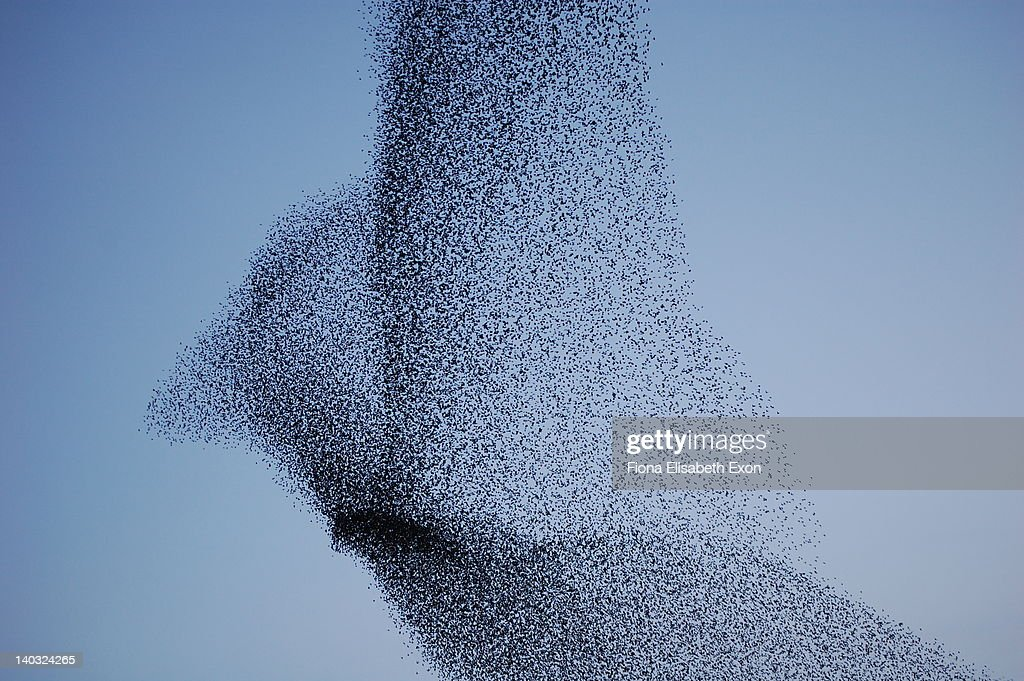 Vast bird-shaped murmuration flock of starlings