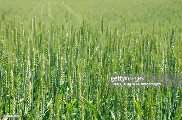 A vast field of wheat. Suwa, Nagano Prefecture, Japan