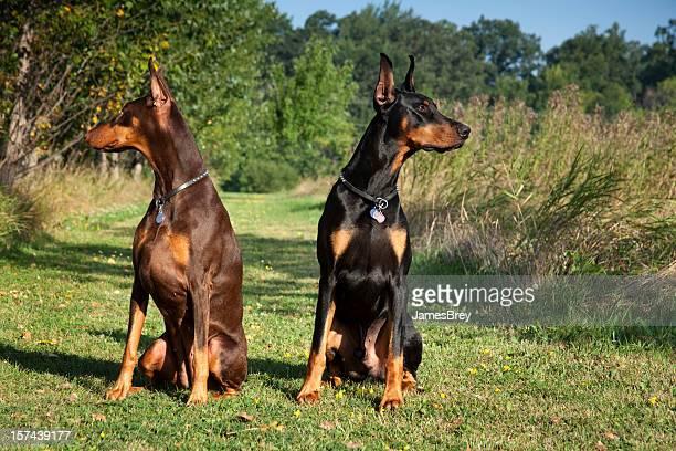 I've Got Your Back; Alert Doberman Pincher Guard Dogs