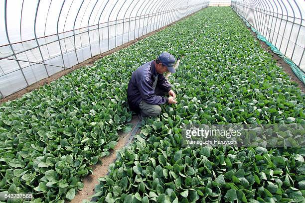 A vegetable farmer sits beside spinach in his greenhouse in Ibaraki prefecture Japan on Friday March 25 2011