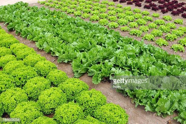 Gemüsegarten Salat mit Kopfsalat