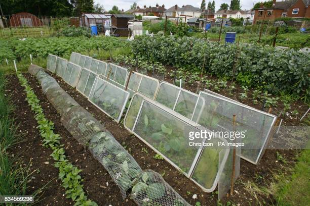 Vegetables under improvised glass cloches at the Weston Allotments in Southampton