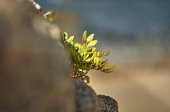 Leaves of a small shrub appearing growing among the rocks with the blurred background.