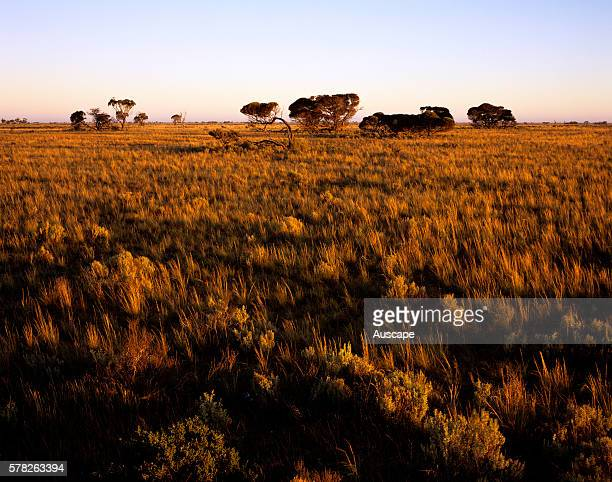 Vegetation of the Nullarbor Plain with some atypical trees Nullarbor National Park South Australia Australia