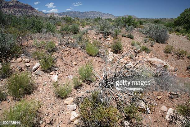 Vegetation of the Red Rock Canyon National Conservation Area in Nevada, USA