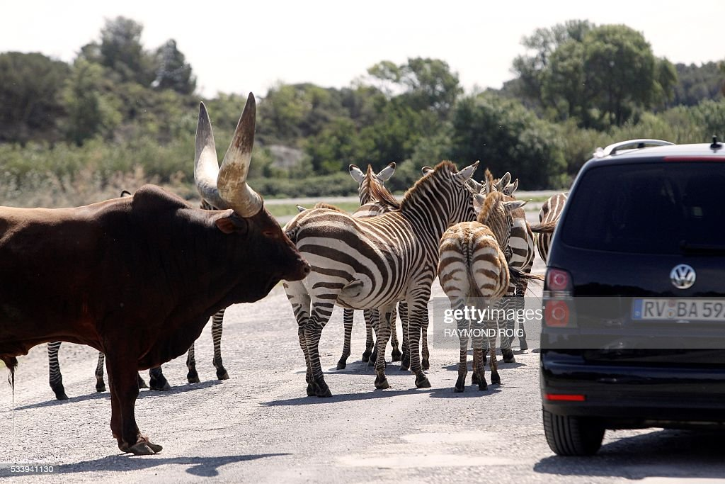 A vehicle carrying visitors drives past Watussi oxen and zebras in the grounds of the African Reserve (Réserve Africaine ) wildlife park in Sigean, southern France on May 24, 2016. / AFP / RAYMOND