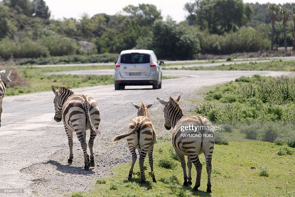 A vehicle carrying visitors drives past zebras in the grounds of the African Reserve (Réserve Africaine ) wildlife park in Sigean, southern France on May 24, 2016. / AFP / RAYMOND
