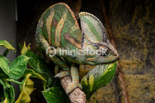 veiled chameleon in terrarium stock foto thinkstock. Black Bedroom Furniture Sets. Home Design Ideas