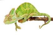 Veiled chameleon (Chamaeleo calyptratus) isolated on white.
