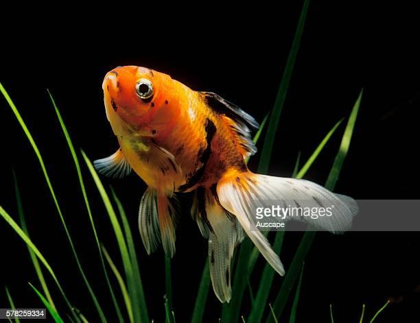 Veiltail goldfish Carassius auratus auratus a double tail goldfish in aquarium