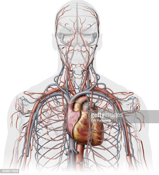 Veins and arteries of the upper body anterior view This image shows an anterior view of the veins and the arteries of the upper body with the heart