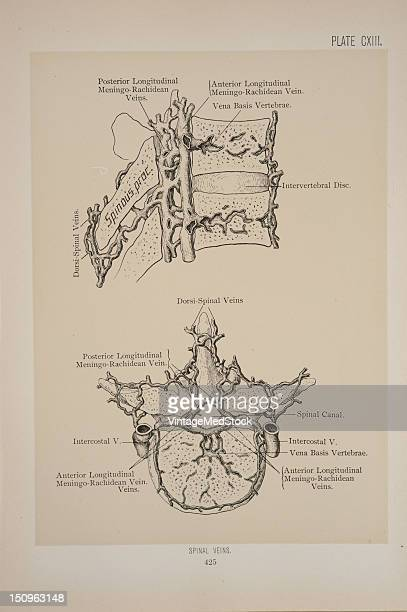 Veins found within the spinal canal are the meningorachidian and the medullispinal veins 1899 From 'The Treatise of the Human Anatomy and Its...