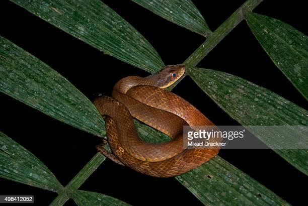 Velvet swampsnake  (Liophis typhlus), Madidi National Park, Bolivia