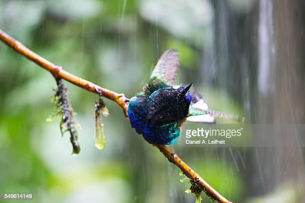 Velvet-purple Coronet Hummingbird